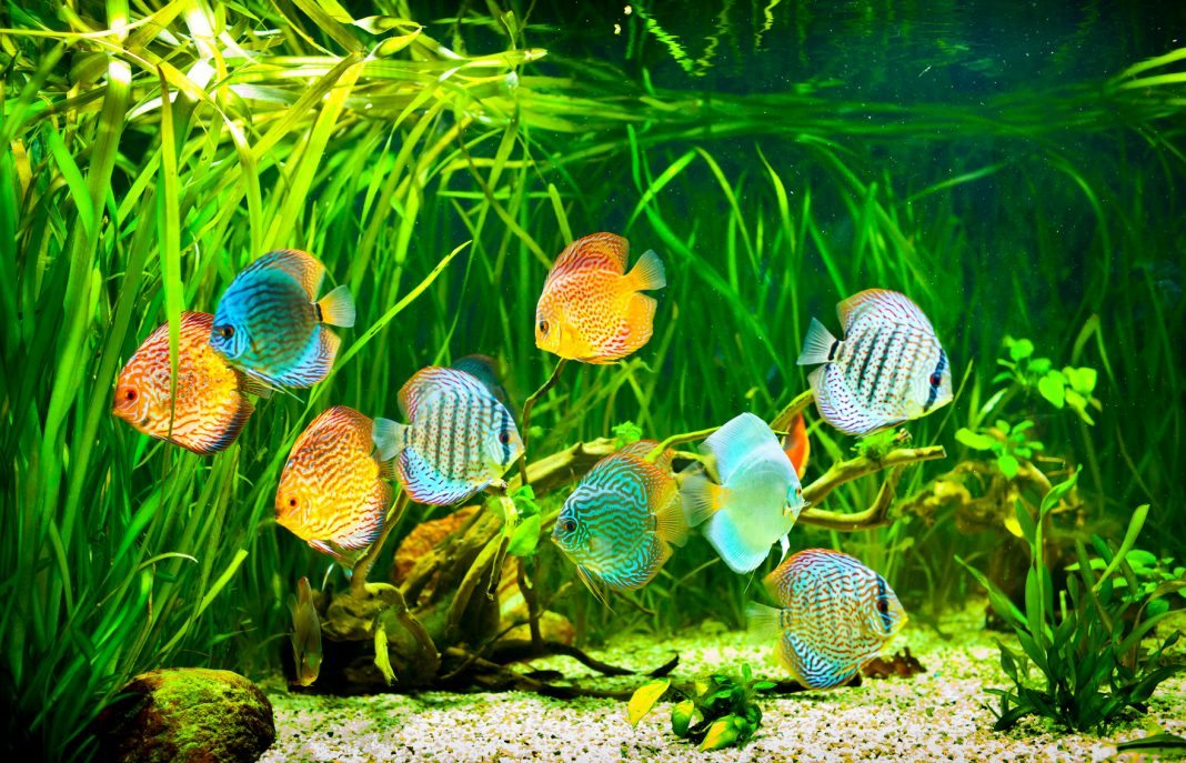 Diskus fische f r ihr aquarium naturendo for Diskus aquarium